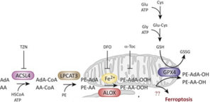 Bild von Molecular Pathways of Ferroptosis Regulation.