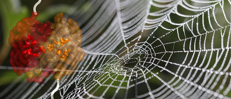 Das Bild zeigt ein Spinnennetz, überlagert mit der Strukturoberfläche der untersuchten, gebundenen Domänen eines Spinnenseidenproteins (Struktur in rot/orange, links oben). Die Seitenketten der Aminosäure Methionin, die sich im Kern des Proteins befinden und seine Struktur verformbar machen, sind als farbige Stäbchen hervorgehoben.