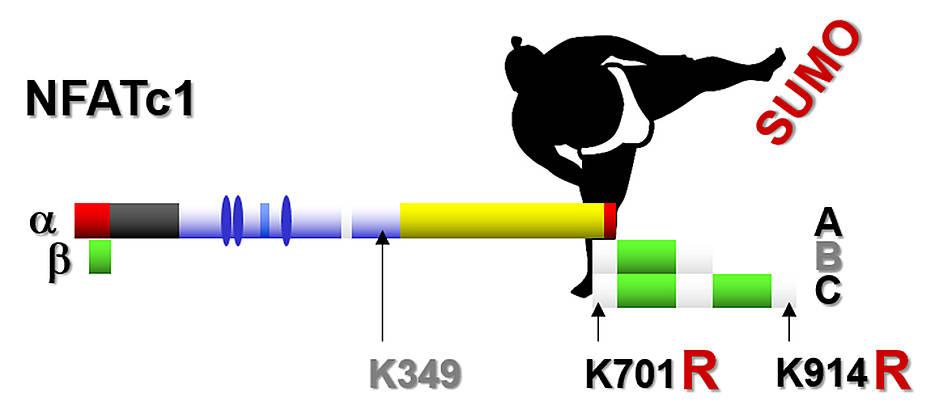 Zwei Punktmutationen sind dafür verantwortlich, dass im NFATc1-Protein anstelle der Aminosäure Lysin (K) Arginin (R) zu finden ist. Dieser Austausch verhindert die Sumoylierung, gleicht damit die lange C-Isoform funktionell der kurzen A-Isoform an und macht vor allem die betroffenen T-Zellen weniger aggressiv.
