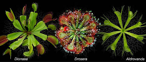 Photographies of the carnivorous plants Venus flytrap, spoon-leaved sundew and waterwheel.