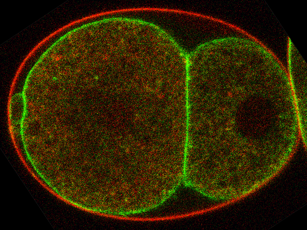 Confocal Microscope image of a C. elegans embryo in the two-cell stage. Flippase TAT-5 (green) is normally located in the membrane surrounding the cells under the egg shell (red). Proteins like Sorting Nexins and RME-8 make the TAT-5 possible