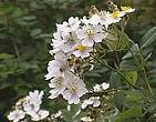 Rosa multiflora Thunb
