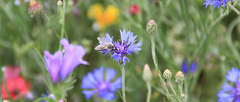 A honeybee on a cornflower