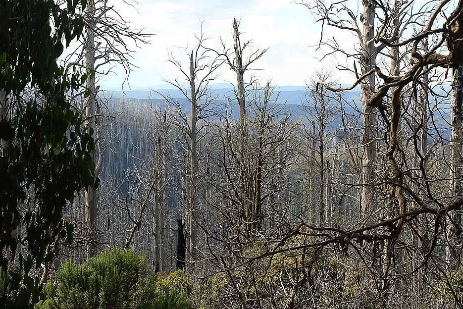 Abgebrannter Eukalyptus-Urwald in Australien. Nach solchen Waldschäden sei es für die Biodiversität bes-ser, nicht aufzuräumen, sagen Würzburger Wissenschaftler.