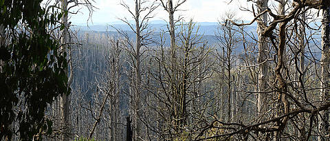 Burned eucalypt forest in Australia. Avoiding overall post-disturbance logging after such major disturbances can help to maintain biodiversity.