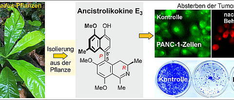 Plant-based anticancer drug – ancistrolikokine E3 inhibits the growth and colonization of pancreatic cancer cells. (Pictures: Sévérin Muyisa / Suresh Awale)