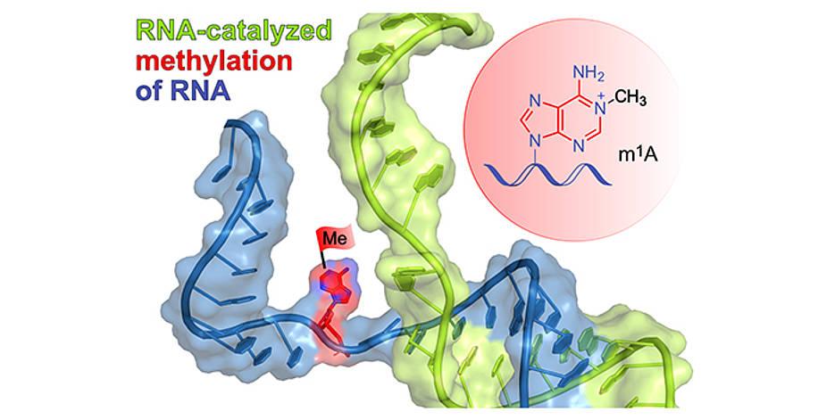 Das schematisch dargestellte Ribozym (grün) bindet an die Ziel-RNA (blau) durch Basenpaarung und installiert die Methylgruppe (rote Flagge) an einer definierten Stelle eines ausgewählten Adenins. Im roten Kreis ist das Reaktionsprodukt m1A dargestellt.