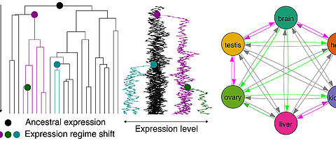 Complex evolutionary relationships: Long-term expression in one organ predisposes genes for later use in other organs.