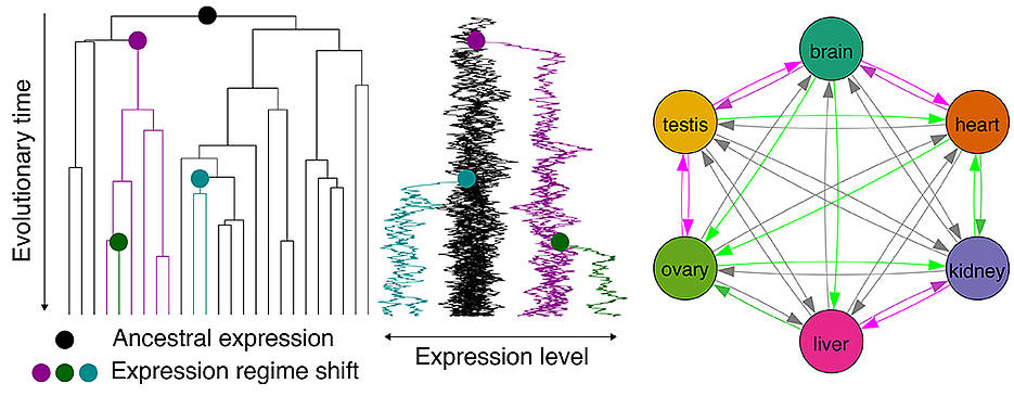Komplexe evolutionäre Zusammenhänge: Die langfristige Expression in einem Organ prädisponiert Gene für die spätere Nutzung auch in anderen Organen.
