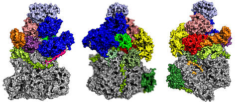 It took months of computer work to decipher the spatial structure of the viral RNA polymerase. The picture shows the protein complex with its specific subunits from different sides.
