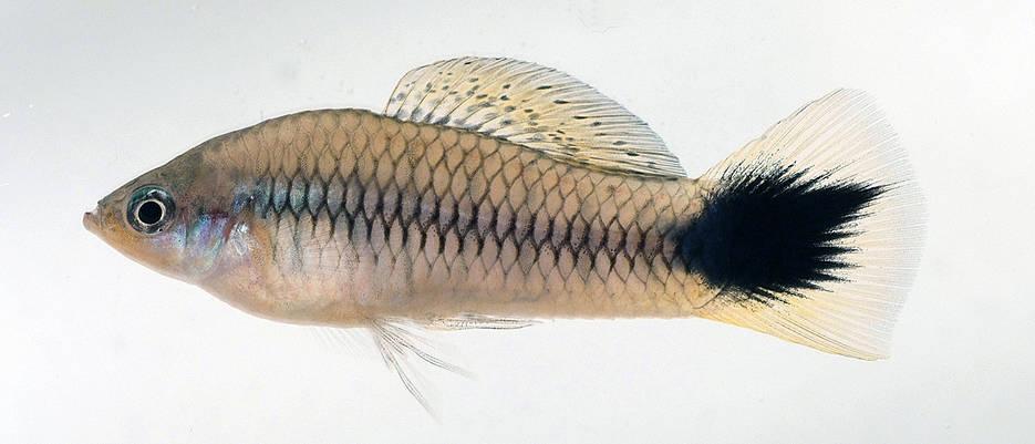 Kreuzt man verwandte Xiphophorus-Arten, sind ihre Nachkommen häufig von schwarzen Flecken gezeichnet. Dabei handelt es sich um eine Form von Hautkrebs.