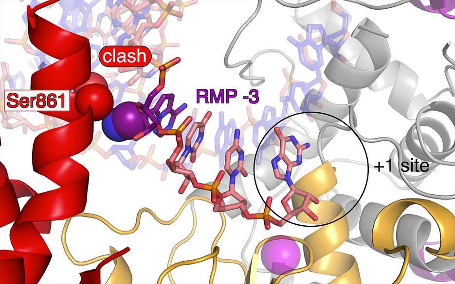 Das Covid-19-Medikament Remdesivir (violett) wird während des Kopiervorgangs in die neue RNA-Kette eingebaut und unterdrückt die Verdopplung des Coronavirus-Erbguts.