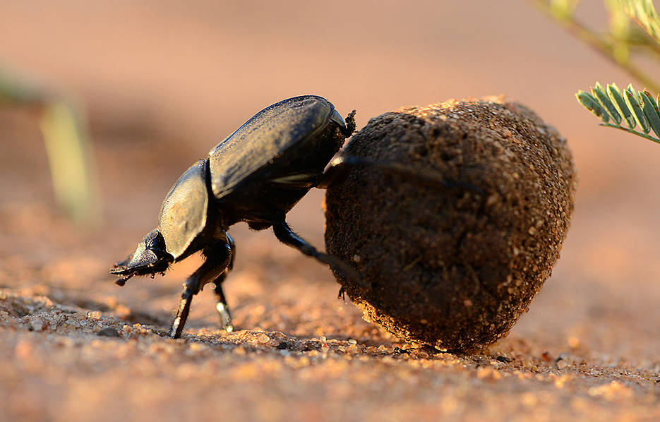 A ball-rolling dung beetle (Photo: Chris Collingridge)