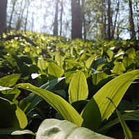 Picture of some wild garlic in a forest