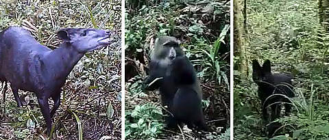 Three examples of the animal species filmed at Kilimanjaro (from left): an Abbott's duiker, a blue monkey and a black serval.