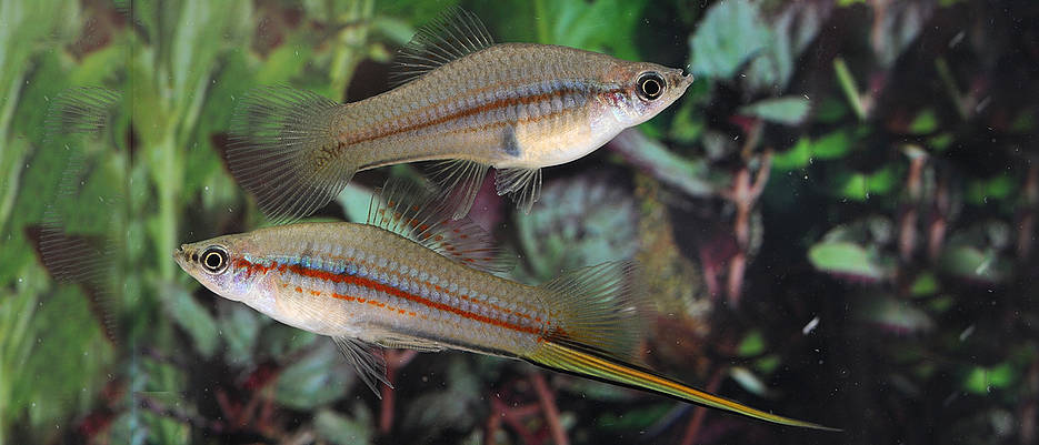 The longer the sword of the male (bottom), the greater the chances of its bearer being interested by a female (top). In the swordtail fish (Xiphophorus hellerii), scientists have now identified the genetic basis of sword growth. (Image: Georg Schneider / University of Würzburg)